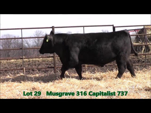Musgrave Angus Lot 29