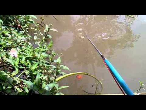 Setrum ikan primer (eksperimen pada ikan mujaer/nila)