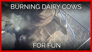 Dairy Farm Burns Calves' Heads Without Painkillers; Man Calls It 'Fun'