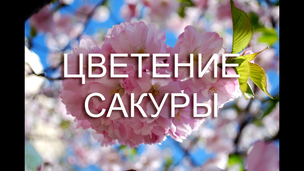 сакура цветы фото