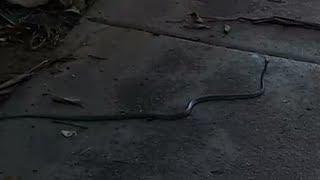 Nab ntsuab green tree snake