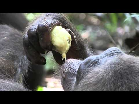 Tchimpounga to Tchindzoulou  The First Group of Chimpanzees Settling on Their New Island Home