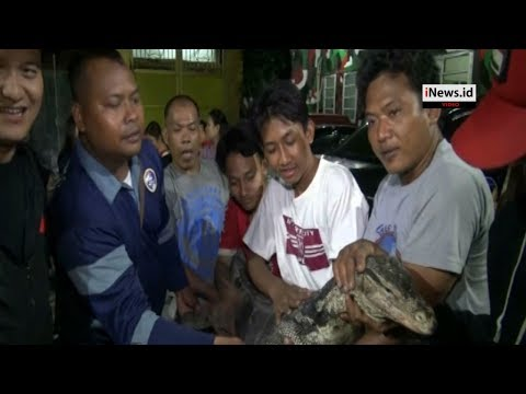 Video Detik Detik Penangkapan Biawak 4 Meter Di Tambora