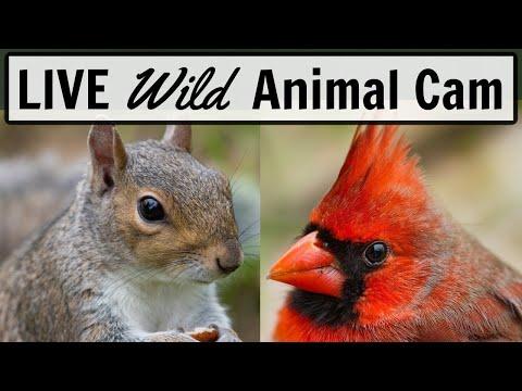 LIVE Animal Cam in Ohio (Cardinals, squirrels, ducks)