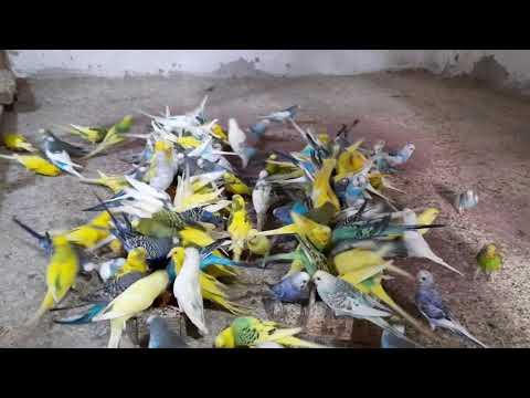 Muhabbet Kuşu Sesi Dişi muhabbet kuşu sesleri