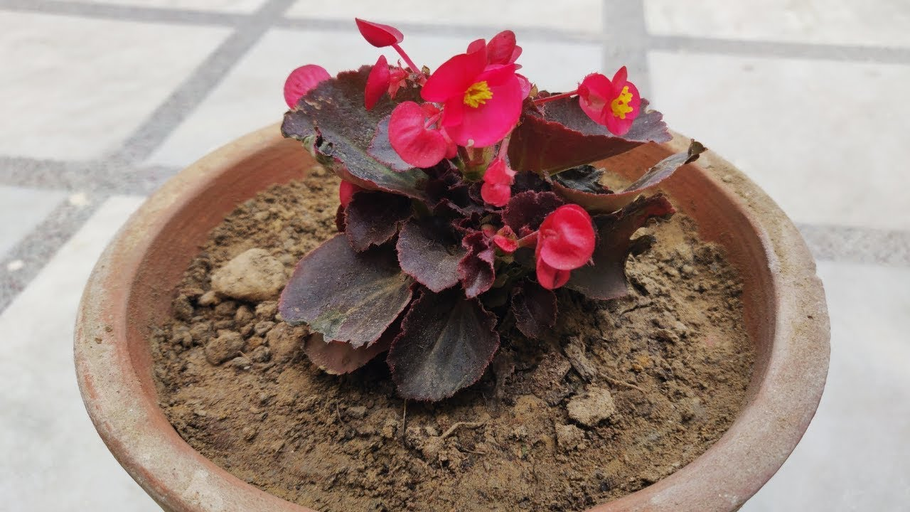 Kale Plant Care Hindi How To Grow Care Kale Plant In Pots Grow Care Ornamental Cabbage Youtube