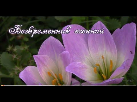 Безвременник – цветок без времени