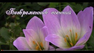 Безвременник осенний. Colchicum autumnale