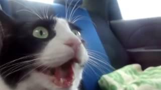 Кошка впервые едет в машине Cat rides in the car