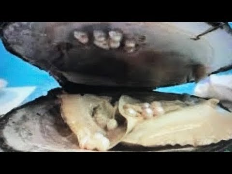 OVER 20 REAL GIANT PRICELESS PEARLS FOUND IN OYSTER DIG IT  ON FUN HOUSE TV