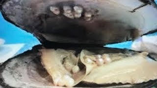 OVER 20 REAL GIANT PRICELESS PEARLS FOUND IN OYSTER DIG IT  FUN HOUSE TV