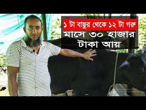 ১ টা বাছুর গরু থেকে ১০ টা গরু মাসে ৩০ হাজার টাকা আয় । গরুর খামার । গরু পালন । Cow farm in Bangladesh