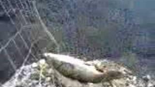 Pesca al Cavedano