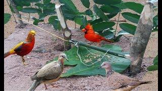 Chưa Bao Giờ Bẫy Chim Cu Gáy Lại Đơn Giản Đến Như Vậy Chỉ 5 Phút Xong Với 3 Khúc Cây.Best Bird Trap thumbnail
