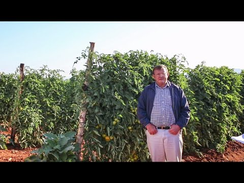 Growing Tomatoes with Drip in South Africa: Netafim Customer Testimonial