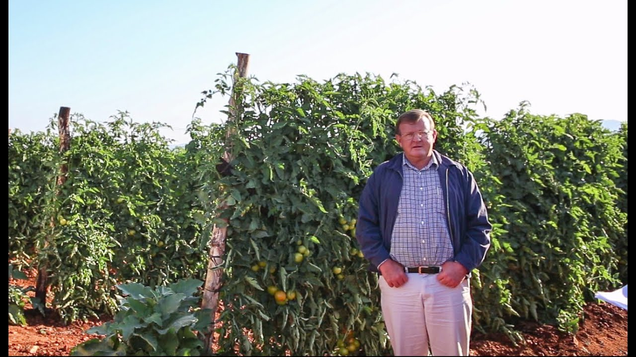 Growing Tomatoes With Drip In South Africa Netafim
