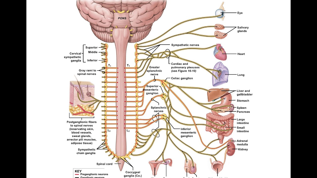 Chapter 16 Autonomic Nervous System Classroom Lecture - YouTube