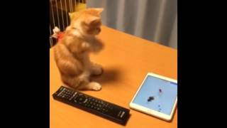 Kitten attempts to play with tablet, fails adorably