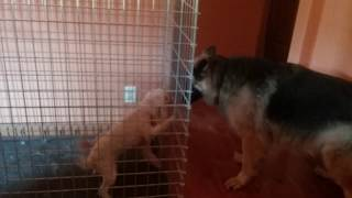 """My sister's dogs """"Holly"""" and """"Noel"""" in a cage while my dog """"Bear"""" lets them know who's boss."""
