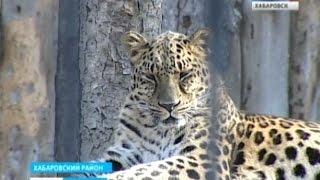 Вести-Хабаровск. Леопард из Ростова
