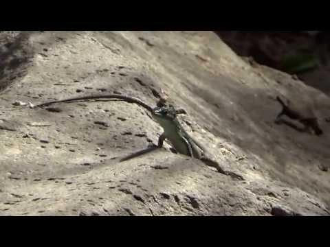לטאה זריזה (Lacerta laevis) לטאות בישראל