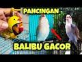 Masteran Pancingan Lovebird Paud Balibu Belajar Ngekek Lovebird Balibu Gacor  Mp3 - Mp4 Download