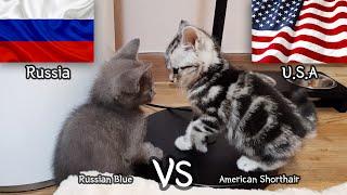 American Shorthair VS Russian Blue   a kitten Fight Story