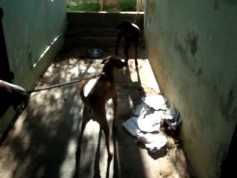 Kombai Dog (Male) Goodwill Kennels, Madurai