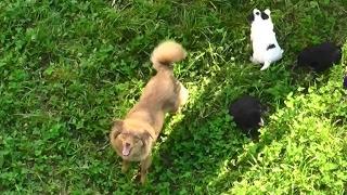 Рыжая дворняжка по кличке Бонка и её щенки