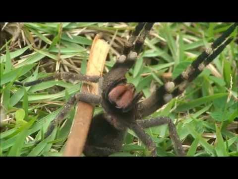 Phoneutria - Armadeira - Brazilian Wandering Spider - Brazil vándorpók - Atack/Defense