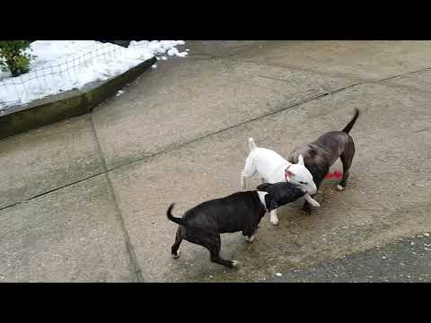 Miniature Bull Terrier - Ulla, Hera & Zena playing with toy