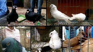 Beautiful giribaz kobutor bikroy at kobutor bazar of Bangladesh - kobutor hat | pigeon bikroy Video