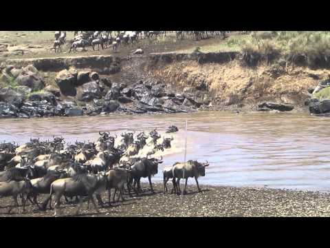Wildebeest crossing a river at the Masai Mara reserve