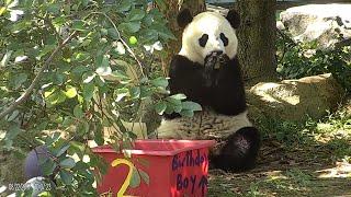 Watch Adorable Pandas from Around the World Celebrate Their Birthdays