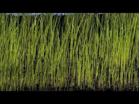 Grass seed sowing, germination & grass growing time lapse