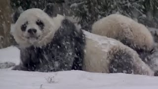 ADORABLE Panda Plays in Snow | What's Trending Now