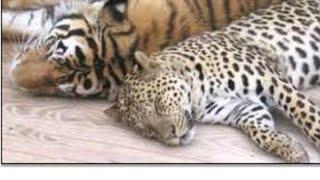 "Тигр из Леопардом малой клип '' Принцеса"""