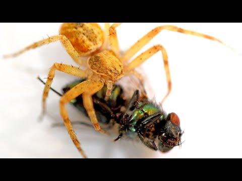 Araña comiendo Mosca Verde | Bajo el Microscopio