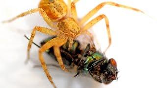 Araña comiendo Mosca Verde   Bajo el Microscopio