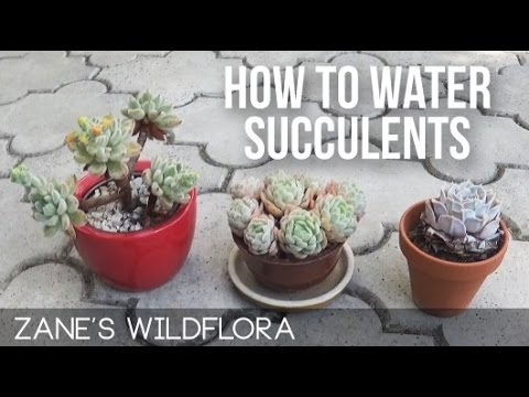 How To Water Succulents Updated Link Youtube