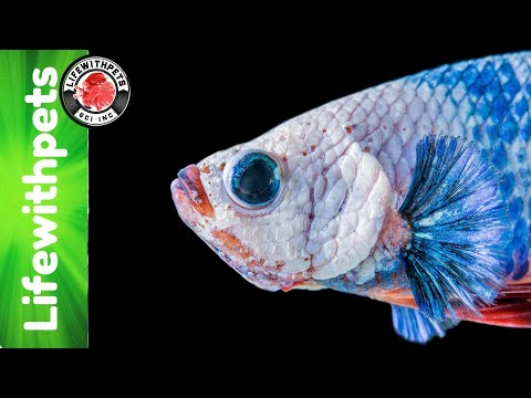 Fin Rot Vs Fin Biting In Betta Fish
