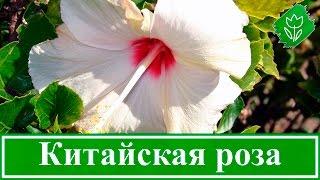 Уход за китайской розой в домашних условиях(Как вырастить китайскую розу из семян. Как ухаживать за китайской розой дома. Как обрезать и пересаживать..., 2015-10-22T19:37:16.000Z)