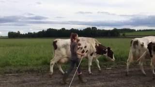 vaches en chemin pour la traite