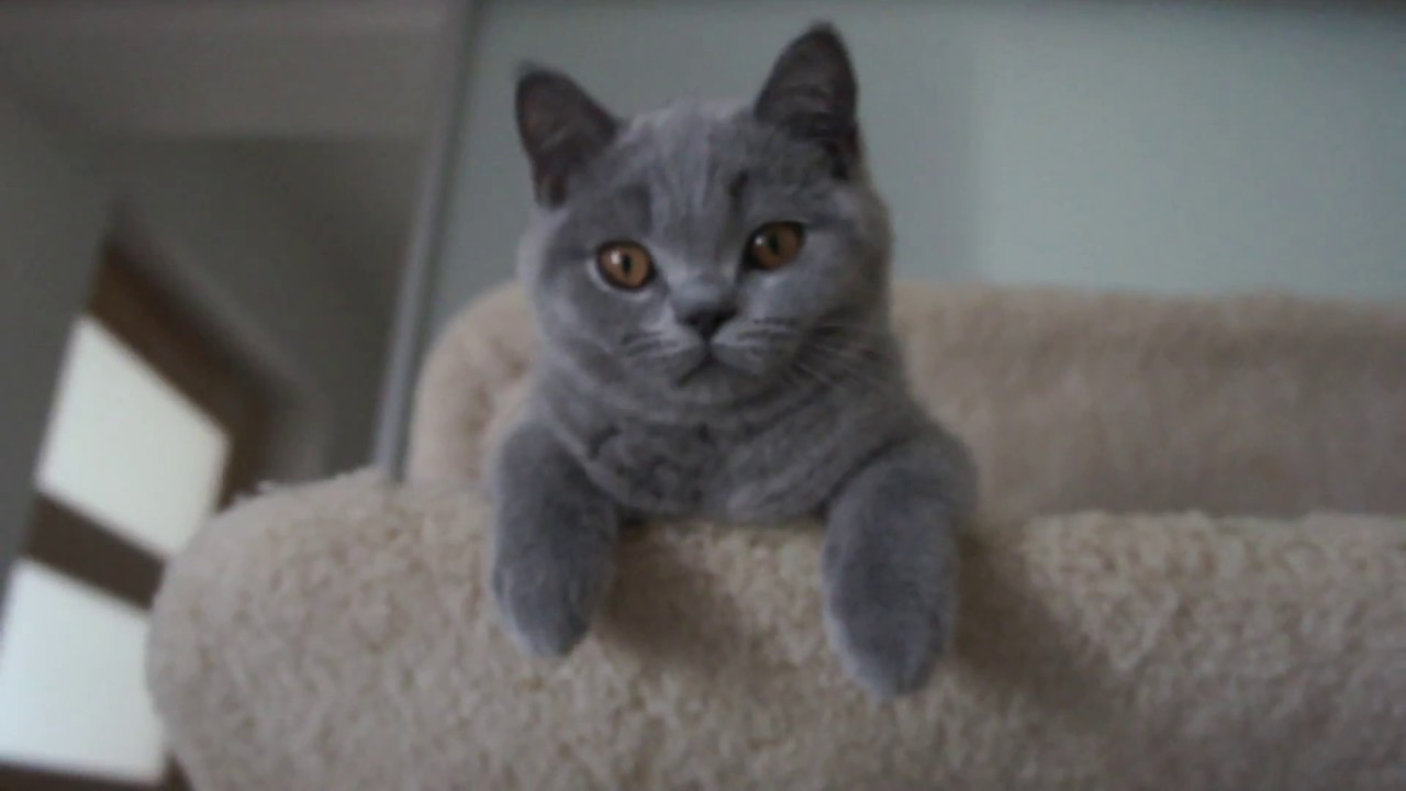 Gregory i Garry Cooper British Shorthair Cattery