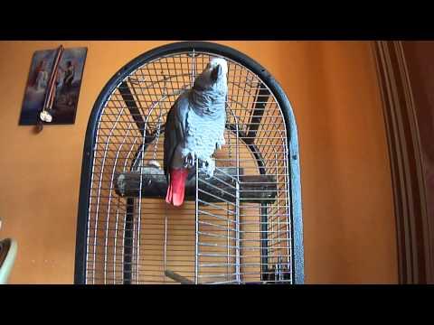 papagal vorbitor yako