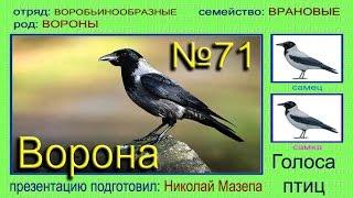 Ворона. Голоса птиц