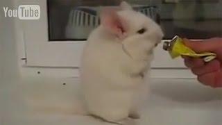 Ирландская чечетка в исполнении шиншиллы(Шиншилла очень смешно и танцует ирландскую чечетку) Это видео на Ютубе: https://youtu.be/OJVAOqeH_Ag Подпишись на наш..., 2015-10-08T13:26:39.000Z)