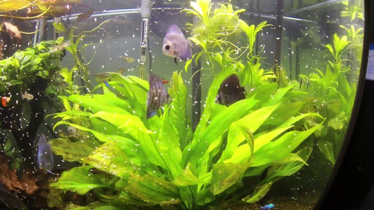 Freshwater aquarium fish not eating - Discus Not Eating