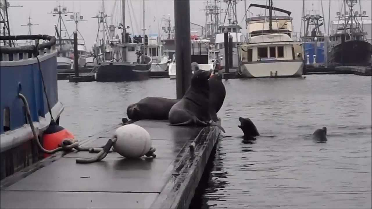 Sea lions in the harbor at westport wa youtube for Westport wa fishing report