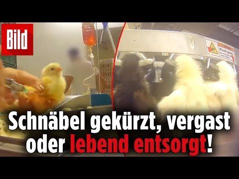 Heimlich gedrehtes Video zeigt Küken-Sterben aus Biohaltung
